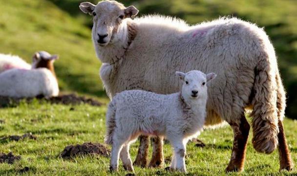 ВМинсельхозе Ставрополья решали судьбу овцеводства края