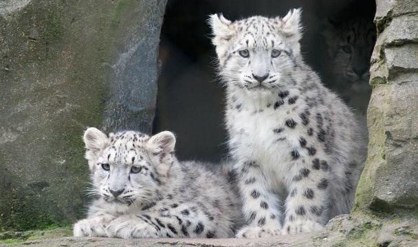 Трех котят переднеазиатского леопарда планируют в2017 году выпустить вгорах Дагестана