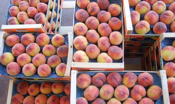 ВСтавропольском крае уничтожили запрещенные кввозу испанские персики