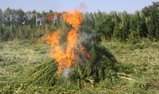 Около 6 гадикорастущей конопли уничтожили работники милиции вПодмосковье